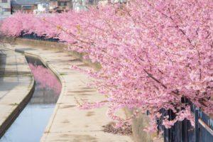京都の淀水路の桜