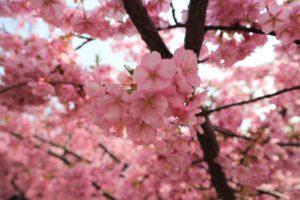 京都の淀水路の河津桜のアップ