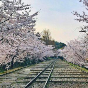 素敵な蹴上インクラインの桜