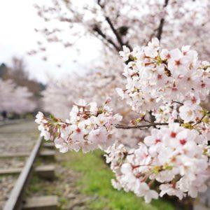 蹴上インクラインの桜のアップ