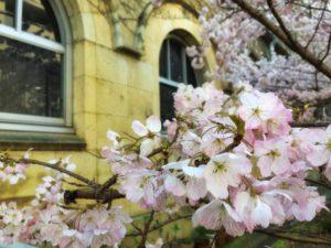 趣のある京都の桜のアップ