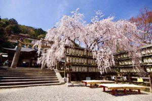 京都の桜の風景