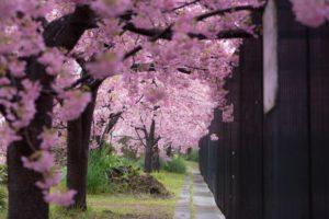 京都の淀水路の河津桜
