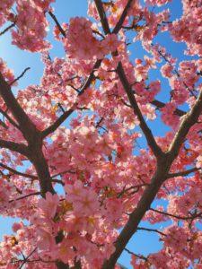 京都の淀水路の桜と空