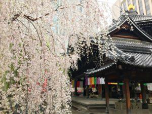 京都の神社と桜