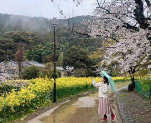 雨での桜を楽しむ